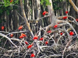 Extintona maior parte do país, o guará – com sua bela plumagem vermelha – é o símbolo do polo turístico edas Reentrâncias Maranhenses, uma das belezas que encanta quem visita o Litoral Ocidental Maranhense.